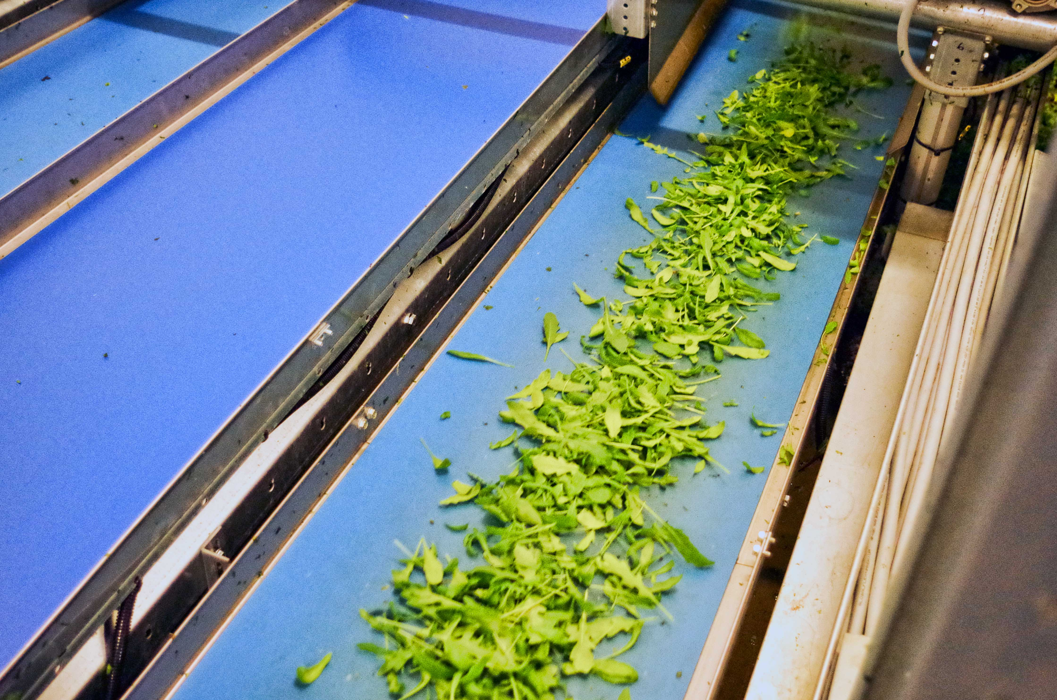 Harvested arugula headed through the packaging/greens mixing machine